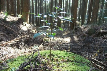 DSCF4899ヒノキの林の中b.jpg