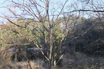 DSCF5268雑木林の中のケヤキb.jpg
