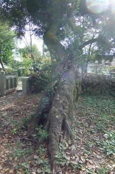 DSCF6738スダシイの木b.jpg